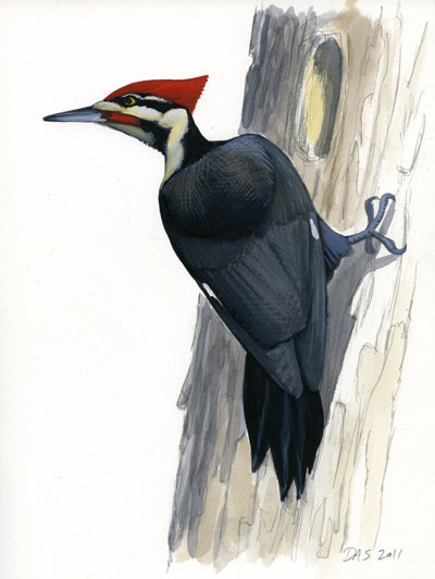 Pileated Woodpecker Drawing Details are still falling into